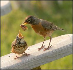 A Mama Robin with lunch for her chick: Babies, Birdie, American Robin, Baby Animals, Beautiful Birds, Baby Birds