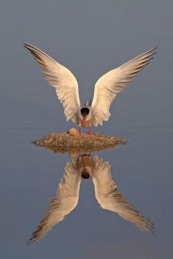 .a mama seagull and her single egg, on a mound or nest in the middle of no where.......beautiful!: Photos, Animals, Reflections, Mirror Image, Beautiful Birds, Beautiful Reflection, Photography