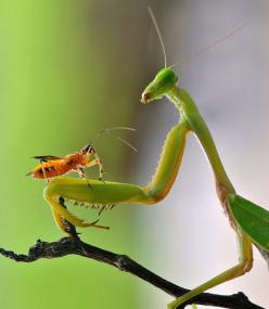 A mantis appears to have struck up an very unlikely friendship with a tiny insect. Photographer Nordin Seruyan took several shots of the unusual pairing after finding them in his back garden in Borneo, Indonesia.: Nordin Seruyan, Animal Pictures, Animals,