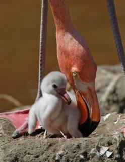 A newly-hatched Caribbean flamingo chick is nuzzled by its parent at SeaWorld San Diego's flamingo exhibit.: Babies, Animals, Mother, Flamingos, Flamingo Chick, Birds