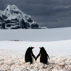 A penguin couple appear to be holding hands. The moment was captured on camera by professional photographer Silviu Ghetie in Port Lockroy - a natural harbour in the Antarctic Peninsula: Penguin Love, Animals, Life, Sweet, Quote, Penguins, Things, Photo