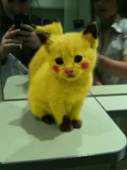 A Pikachu cat? Oh someone is going to pay for this..... But I cant help it, its still cute, lol. : Cats, Kitten, Animals, Pokemon, Stuff, Pikachu Kitty, So Cute, Funny, Things