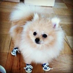 A Pomeranian Wearing Sneakers - BuzzFeed Mobile: Shoes, Animals, Dogs, Pet, Pomeranians, Puppy, Things, Pom Pom
