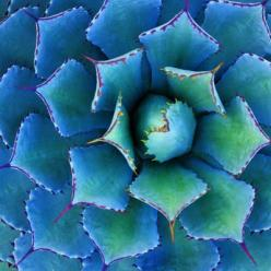 A. potatorum  Only 2 feet in diameter, this beauty is petite enough for any garden. Blue-gray leaves with reddish spine tips. Attractive in pots.: 16 Gorgeous, Succulent, Gorgeous Agave, Agave, Blue Gray Leaves, Color, Garden