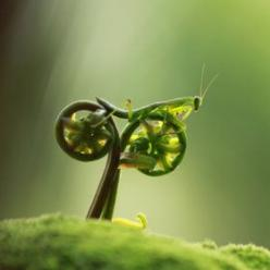 A praying mantis appears to be pedalling a bicycle in this amusing photo taken by amateur photographer, Eco Suparman, a university student from Borneo, Indonesia. He came across the mantis on a fern in a cemetery in the Ambawang River Village.: Metal Phot