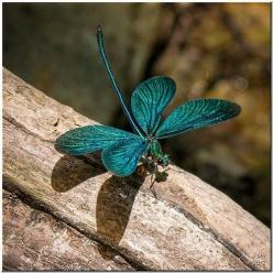 A Turquoise Dragonfly..: Dragon Flies, Butterfly, Butterflies, Dragonfly S, Greek Damselfly, Animal, Dragonflies