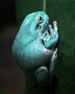 A turquoise frog - how unusual. (White's tree frog): Turquoise Frog, Flickr, Animals, White S Tree, Tree Frogs, White Trees, Photo