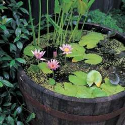 A whisky barrel pond in our backyard garden would be nice!: Barrel Water, Ideas, Water Gardens, Water Features, Whiskey Barrels, Outdoor, Barrel Pond