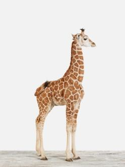 Aaaahhww!: Babies, Friends, Cute Baby Animals, Baby Giraffes, Cute Animals, Design