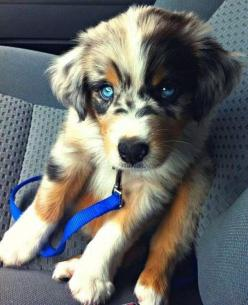 Adorable Dog Cross-Breeds: Australian Shepard, Animals, Puppies, Dogs, Golden Retrievers, Pet, Puppys, Blue Eyes, Australian Shepherd