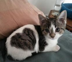 "Adorable kitten with a ""heart"" spot!: Adorable Animals, Cute Cats, Pet, Fur, Foster Kitten, Kittens, Kitties, Kitty"