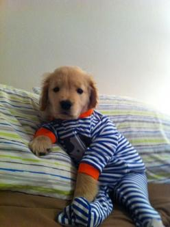 #adorable #puppies #DogsInClothes: Animals, Dogs, Golden Retrievers, Pet, Puppys, Pjs, Adorable, Baby