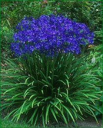 Agapathus- Agapanthus requires full sun and a fertile soil which should be moist rather than dry, but not boggy. They are fleshy-rooted plants that produce clumps of sword like foliage which dies back in winter to emerge again the following spring. Blooms