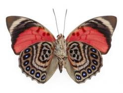 Agrias claudina lugens - Underside: Butterflies Dragonflies, Pattern, Nature, Bugs, Butterfly Wings