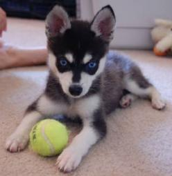Alaskan Klee Kai: Alaskan Klee Kai, Animals, Dogs, Alaskan Husky, Blue Eyes, Huskies Puppies, Husky Puppies, Mini Huskies