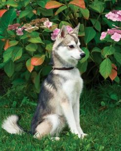 Alaskan Klee Kai Dog..beautiful stance...: Alaskan Klee Kai, Puppies Dogs, Stuff, Pet, Husky, Kai Dog Beautiful, Beauty, Beautiful Dogs, Animal
