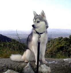 Alaskan Klee Kai: Dogs, Animals Pets, Adorable Animals, Alaskan Klee Kai Puppy, Random, Husky, Animals 3, Klee Kais