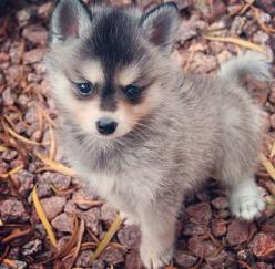Alaskan Klee Kai puppy: Animals Funny Sweet Sad, Dogs, Children Animals, Alaskankleekai Beyondcute, Animals ?, Animal Puppyy, Alaskan Klee Kai Puppy, Animalsssss ? ? ? ?