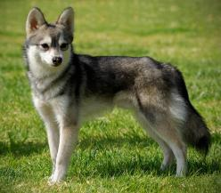 Alaskan Klee Kai. Tiny huskies!!!!!  OHHHHHH.... I would love or have one of these!: Alaskan Klee Kai, Husky Animal, Dogs Puppies, Kai Mini Husky, Amazing Animals, Husky Dogs, Photo, Friend