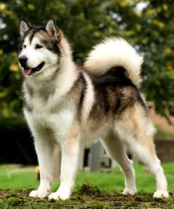Alaskan Malamute, makes me think of the one we had growing up. NaNa was a great dog!!: Doggie, Awesome Dog, Dogs, Malamute, Nana, Growing, The One