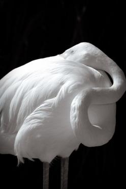 Albino Flamingo,   I thought the food they eat is what gives them their pigment?: White Animals, Albino Animals, Albino Flamingo, Black And White, White Flamingo, Black White, Flamingos, Birds