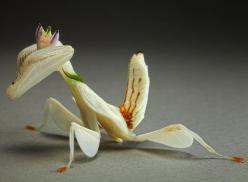 Aliens on Earth: macro pictures of praying mantises and bugs by Igor Siwanowicz - Telegraph: Orchid Praying, Igor Siwanowicz, Malaysian Orchid, Orchids, Praying Mantis, Animal