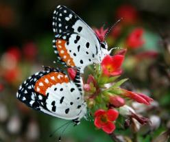 All American butterfly: Beautiful Butterflies, Animals, Flutterby, Pierrot Butterfly, Butterflies Moth, Birds
