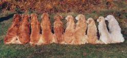 All the shades a Golden Retriever can come in. I love them all!!: Retriever Colors, Golden Retriever Color, Red Golden Retrievers, Ombre Golden, Dog, Red Golden Retriever Puppies, Golden Colors, Golden Retriever