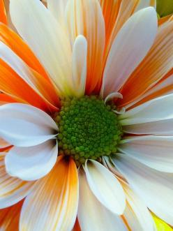 All You Need to Know About Daisy Daisies Perennial Plants: White Flower, Color, Flowers Plants, Daisies, Beautiful Flowers, Bloom, Sherbet Daisy, Flowers Garden, Orange Sherbet