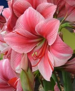 Amaryllis Gervase is one of the prettier varies. If you order large bulbs they have so much larger flowers- it's worth it.: Pink Flower, Gervase Flowers, Plants Flowers, Beautiful Flowers, Flowers Pink, Pretty Flowers, Amaryllis Gervase
