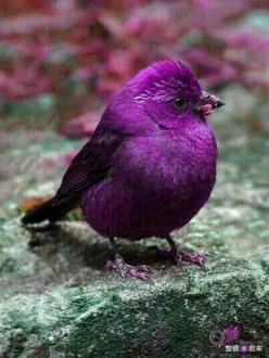 Amazing bird: Animals, Purple Bird, Color, Birdie, Purple Passion, Pretty Birds, Beautiful Birds