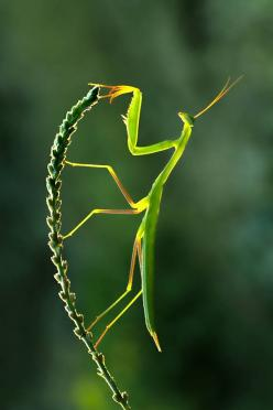 Amazing insects - fantastic image!: Animals, Bugs, Nature, Creature, Green, Beautiful, Insects, Photo, Praying Mantis