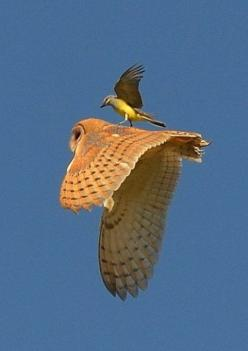 Amazing shot. I've seen small birds drive away an owl before, and I think that's what is happening here. It's astonishing to witness the bravery of small creatures protecting their young and/or their territory.: Animals, Friends, Birdsup Owls,
