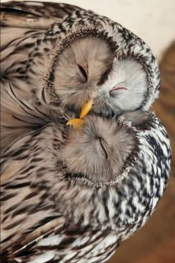Amazing Things in the World Lovely Amazing World: Photo: Animals, Snuggly Owls, Creature, Hoot Hoot, Owl, Snuggling Owls, Birds