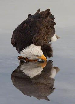 American Bald Eagle and it's reflection while drinking water: American Bald, Animals, Beautiful, Bald Eagles, Photo, Drinking Water, Birds, Eagle Reflection