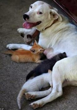 American Bulldog Adopts Litter of Orphaned Kittens - http://shine.yahoo.com/parenting/bulldog-adopts-litter-orphaned-kittens-184200625.html: Cats, Animals, Dogs, Sweet, Mother, Pet, Kittens, Friend