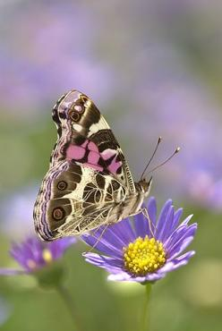 ~~American Painted Lady Butterfly on a Lavendar Flower by Gail Shumway~~: Butterflies, Shumway Photography, Lavender Aster, Lavender Flower