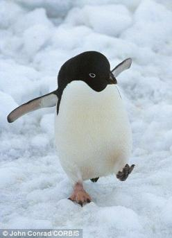 An Adelie penguin walking on the ice in Antarctica. Climate change is killing worrying amounts of birds: Adelie Penguins, Wwf Animals, Cute Birds, Cute Penguins, Pet, Killing Worrying, Baby Penguins, Walking Penguin