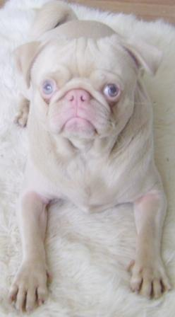 An albino pug. Such a beautiful little pug ( and nose!) when you get over the shock of no pigment.: Dogs, Albino Animals, Albino Pug, Pet, Beautiful, Eyed Pug, Pugs, Albinopug