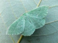 An emerald moth with tones of seafoam green and citrine. Gorgeous color scheme.: Butterfly, Nature, Butterflies, Emerald Moth, Color, Blue, Green, Aqua, Animal
