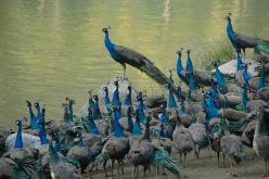 An Ostentation of Peacocks by becklectic:  Peafowl refers to two species of birds in the pheasant family, best known for the extravagant tail of the male. Only the male is known as a peacock. The female is a peahen and is a muted brown or grey. http://tin