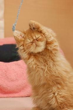 ...and a one, two, three, stretch! An orange Persian kitty does the stretch.: Cats, Animals, Kitten, Cuteness, Funny Cat, Pets, Adorable, Things, Kitty