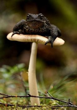 And that's why they're called toad stools.: Animals, Nature, Toadstool, Reptile, Mushrooms, Stools