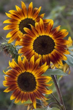 """And the yellow sunflower by the brook, in autumn beauty stood.""   ~William Cullen Bryant: Autumn Sunflowers, Sunflower Tattoo, Color, Flowers Sunflowers, Beautiful Flowers, Beautiful Sunflowers, Beauty, Garden, Sun Flowers"