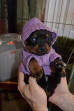 And this little rottie who is all cozy in her sweater. | 42 Of The Most Important Puppies Of All Time: Broken, Sweater, Purple Outfit, Cuteness, Dogs, Adorable Animals, Puppys, Baby, Rottweiler