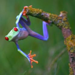 Angi Nelson photographs brilliantly colourful frogs at her home in Bristol.   She began taking pictures of frogs from her own collection after she was   diagnosed with ME, leaving her housebound.: Animals, Nature, Color, Creature, Tree Frogs, Treefrogs, T