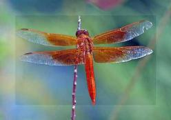 Animal Spirit Guides Meanings: Dragonfly Spirit Guide: Dragon Flies, Butterflies, Nature, Animal Spirit, Red Dragonfly, Moth, Dragonflies