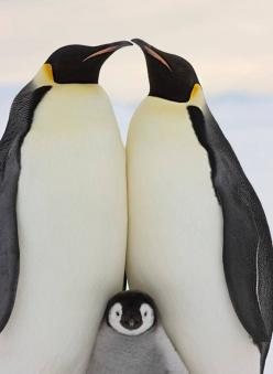 #animals Perfect family portrait! Wish my humans would pose like this.: Animals, Nature, Penguins, Families, Birds