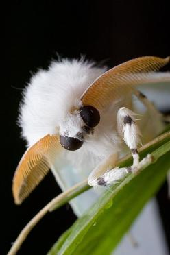 Another Cute and Fluffy Moth | 17 Incredible Insects You Won't Believe Exist: Macro, Animals, Nature, Bugs, Creature, Venezuelan Poodle Moth, Insects, Beautiful Moth