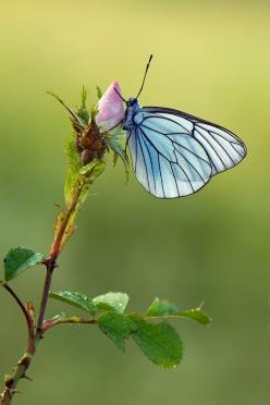 ~~Aporia crataegi by *dralik~~: Beautiful Butterflies, Butterflies Dragonflies, Blue Butterfly, Flutterby, Flower, Animal